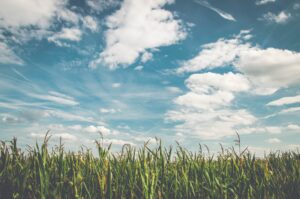corn fields under white clouds with blue sky during daytime